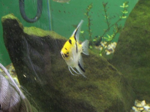 Angel Fish - Photography