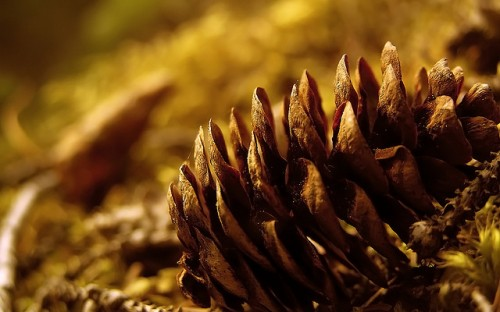 Pinecone_Widescreen