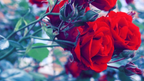 roses widescreen wallpaper